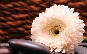 Картинка цветок, камни, Белый, Гербера