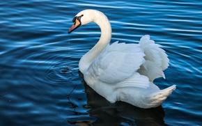 Обои белый, вода, капли, свет, озеро, пруд, птица, крылья, перья, белая, лебедь, красивая, водоем, шея, голубая, ...