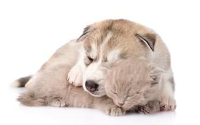 Картинка котенок, щенок, друзья, хаски, спят