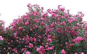 Картинка цветы, куст, Природа