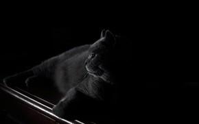 Обои взгляд, морда, ночь, отдых, спокойствие, лапки, черный фон, черный кот, британец, ночной дозор, сытый, ленивый, ...