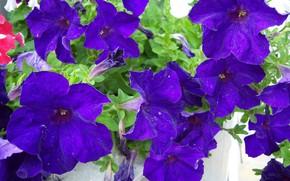 Картинка цветы, тёмная, петуния, Mamala ©