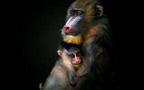 Картинка обезьяна, обезьяны, детеныш, чёрный фон, тёмный фон