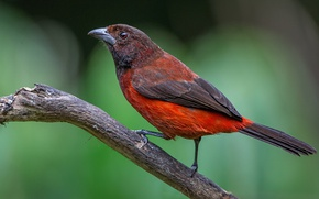 Картинка птица, ветка, клюв, хвост, расписной танагр