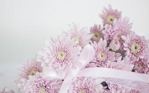 Картинка макро, цветы, Хризантемы розовые