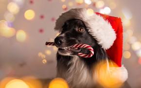 Обои собака, Новый Год, Рождество, Christmas, dog, 2018, Merry Christmas, Xmas, funny, cute, decoration, santa hat, ...