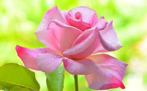 Картинка цветок, капли, роза, лепестки