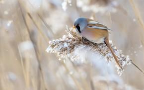 Картинка зима, трава, снег, природа, птица, усатая синица, метёлка
