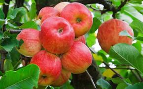 Картинка осень, яблоко, ветка, урожай, куча