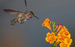 Картинка цветок, птица, крылья, клюв, колибри, соцветие, калипта Анны