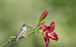 Картинка цветок, природа, птица, Лилия