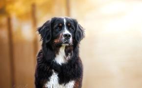 Картинка взгляд, портрет, собака, пёс, боке, Бернский зенненхунд