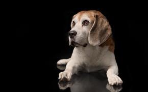 Обои портрет, собака, лапы, щенок, чёрный фон, Бигль