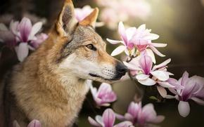 Обои профиль, Chinua, магнолия, чехословацкая волчья собака, цветы, собака