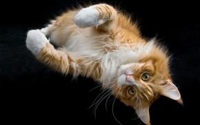Обои лапы, рыжий кот, мордочка, тёмный фон, Мейн-кун, взгляд, кошка