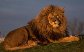 Обои царь зверей, лев, красавец