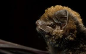 Картинка природа, фон, Miniopterus schreibersii oceanensis, Eastern bent wing bat