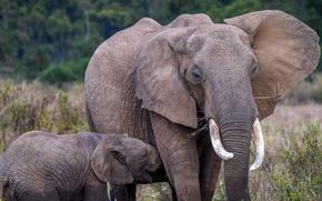 Картинка природа, слон, Африка, слоненок