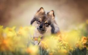Картинка взгляд, цветы, собака, мордашка, нарциссы, боке, Шпиц