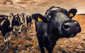 Картинка природа, коровы, скот