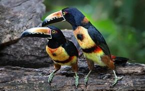 Обои птица, тукан, клюв, ошейниковый арасари, пара
