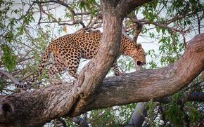 Картинка хищник, леопард, дикая кошка, на дереве