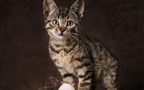 Обои портрет, взгляд, игрушка, фон, котёнок
