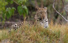 Обои отдых, хищник, окрас, взгляд, леопард