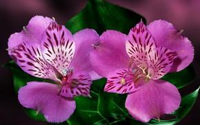 Картинка цветок, макро, альстромерия, Перуанская лилия