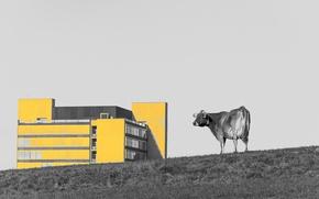 Картинка город, дом, корова