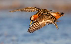 Картинка вода, полет, птица, крылья, клюв, плосконосый плавунчик