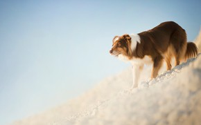 Картинка склон, рыжий, пёс