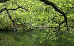 Картинка зелень, лес, вода, деревья, ветки, озеро, водоём