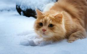 Обои кошка, взгляд, снег, рыжий кот