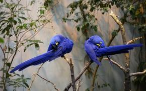 Картинка ветка, пара, попугаи, синие, Гиацинтовый ара, деревo