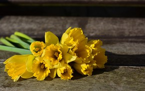 Картинка цветы, фон, весна, нарциссы