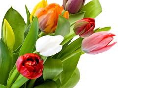Обои листья, тюльпаны, белый фон, бутоны, разноцветные, крупным планом