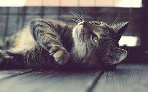 Обои кот, лежит, усы
