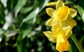 Картинка макро, цветы, желтый, весна, широкоформатные, нарциссы