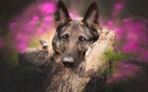 Картинка взгляд, морда, собака, коряга, боке, Немецкая овчарка