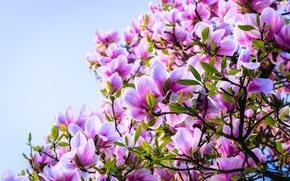 Картинка дерево, розовый, магнолия