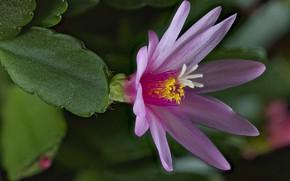 Обои хатиора, цветок, кактус