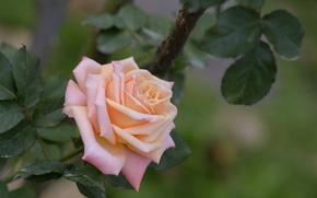 Обои роза, лепестки, бутон, цветы