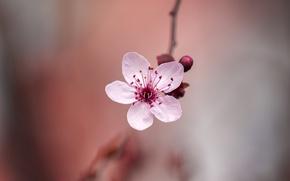 Картинка цветок, весна, сакура, боке