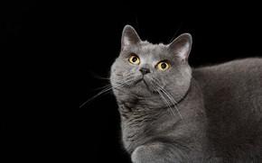 Обои фон, British blue shorthair, кошка