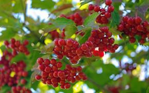 Картинка лето, природа, ягоды, красота, урожай, плоды, витамины, множество, дача, калина, красный цвет