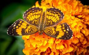Обои бабочка, крылья, бархатцы, цветок