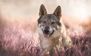 Картинка взгляд, морда, боке, вереск, гибрид собаки и волка, Волкособ