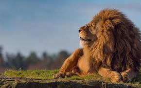Обои небо, морда, кошки, поза, фон, камень, лев, лапы, грива, царь зверей, лежит, профиль, зверь, дикие ...