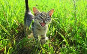 Картинка лето, трава, кот, луг, котёнок, мявчит